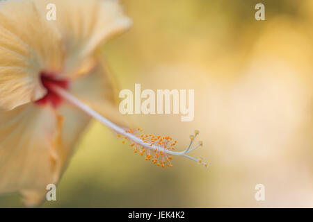 Yellow hibiscus flower under sunshine with blurred bokeh background. Tranquil tropical flowers background concept. - Stock Photo