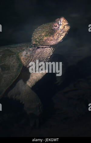 Common snapping turtle (Chelydra serpentina) in water, Florida, America, USA - Stock Photo