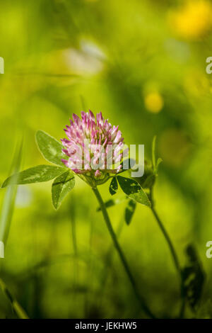 A beautiful, vibrant red clover flower in a meadow. Sunny summer day. - Stock Photo