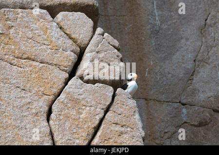 Horned Puffin (Fratercula corniculata) on the cliffs of Cape Achen, Chukotka, Russia - Stock Photo