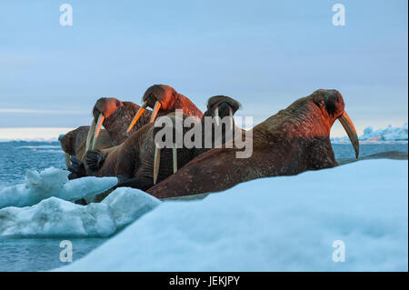 Last rays of evening sun striking a group of Walrus (Odobenus rosmarus, Wrangel Island, Chuckchi Sea, Chukotka, - Stock Photo