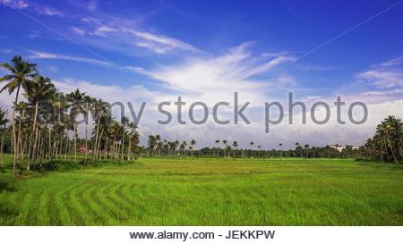 Green vs blue in the nature. Landscape of paddy fields from Kerala, India in the background of cloudy blue sky - Stock Photo