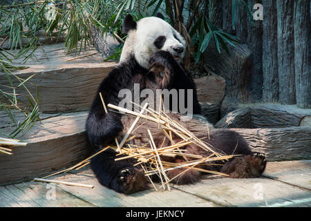 Panda enjoy eating bamboo sticks - Stock Photo