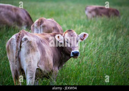 Cow (Swiss Braunvieh breed) standing on a green meadow with other cows grazing in the background. - Stock Photo