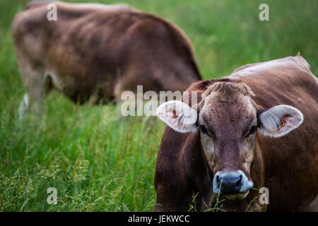 Cow's face (Swiss Braunvieh breed) with other cow grazing on a green meadow in the background. - Stock Photo