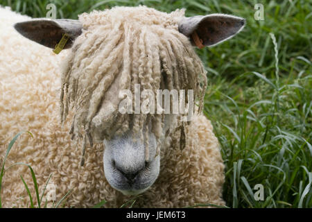 cotswold lion sheep in a pen - Stock Photo