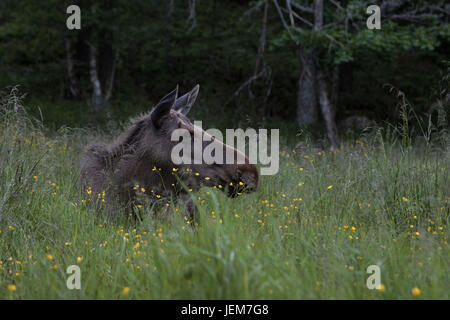 Moose or elk, Alces alces, cow resting on the ground in green grass with flowers - Stock Photo
