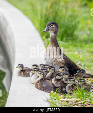 A mother Wood Duck with her ducklings gathered at the edge of the Duck Pond in Assiniboine Park, Winnipeg, Manitoba, - Stock Photo