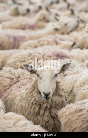 Ovis aries. Flock of Sheep in a pen waiting for shearing at the 2017 Royal Three Counties Show. Malvern, Worcestershire, - Stock Photo