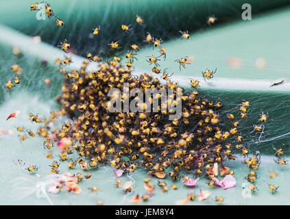 baby yellow garden spiders, araneus diadematus - Stock Photo