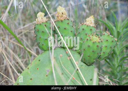 prickly pears on the plant unripe - Stock Photo