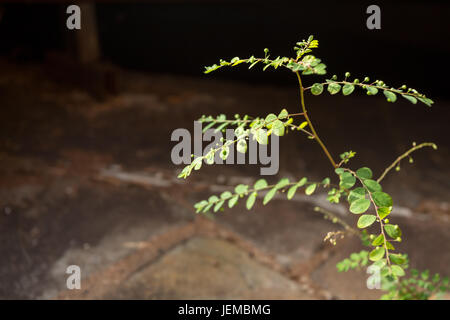 Wild herbaceous plant (Phyllanthus tenellus) growing as a weed through crack in path, Asuncion, Paraguay - Stock Photo