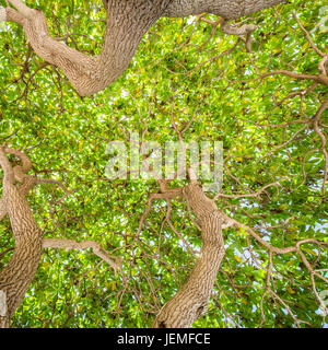 Green trees. Looking up to the trees. Green nature background - Stock Photo