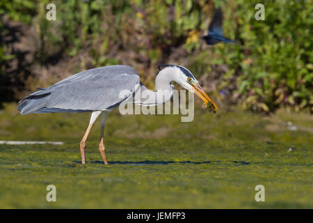 Grey Heron (Ardea cinerea), adult with a caught frog in its bill - Stock Photo
