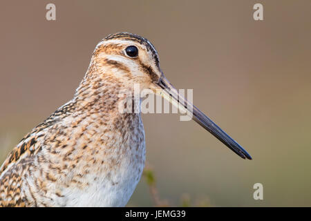Common Snipe (Gallinago gallinago faeroeensis), adult close-up - Stock Photo