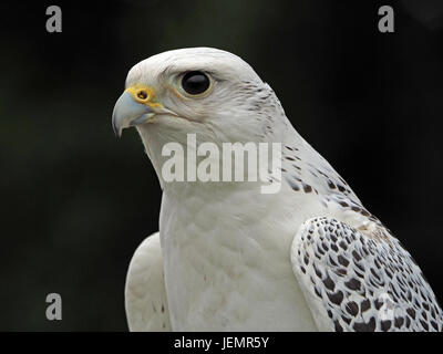 Captive Gyr x Saker hybrid falcon (Falco cherrug x Falco rusticolus) at a falconry centre in Oxfordshire England - Stock Photo