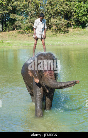 Mahout standing on the back of his Indian elephant (Elephas maximus indicus) and taking a bath in the river, Kaziranga - Stock Photo