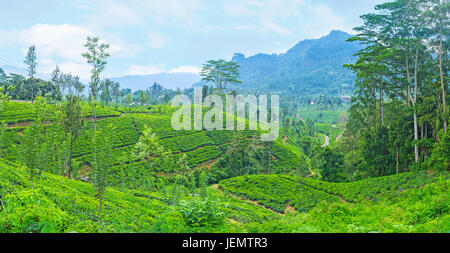 Sri Lanka is one of the world's largest exporters of tea, so the tea plantations of the Central Province are the - Stock Photo