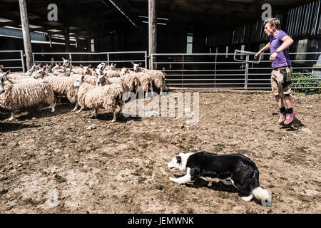 Oxnam, Jedburgh, Scottish Borders, UK. 25th June 2017. Cheviot ewes are clipped on Oxnam Row Farm in the Scottish - Stock Photo