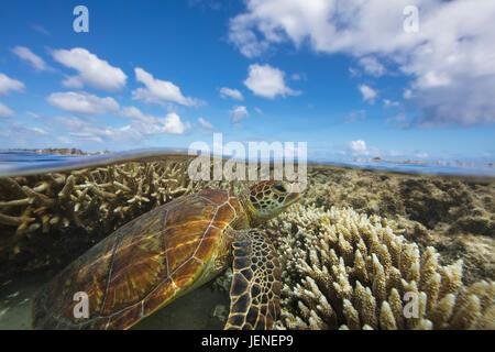 Green Sea turtle swimming over a coral reef, Lady Elliot Island, Queensland, Australia