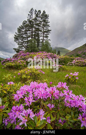 Common rhododendron / Pontic rhododendron (Rhododendron ponticum) in flower, invasive species in Glen Etive, Scottish - Stock Photo