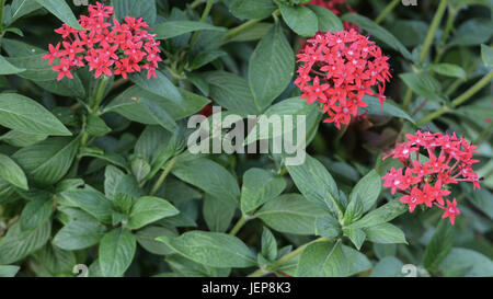 Egyptian Star Cluster Pentas With Velvet Fuzzy Texture At The Florida  Botanical Gardens In Largo,