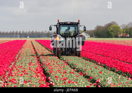 ESPEL, THE NETHERLANDS - APRIL 22, 2017: Farmer at tractor with mechanical device is cutting the heads of tulip - Stock Photo