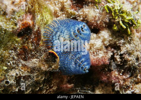 Marine life a blue christmas tree worm, Spirobranchus giganteus, underwater in the lagoon of Bora Bora, Pacific - Stock Photo
