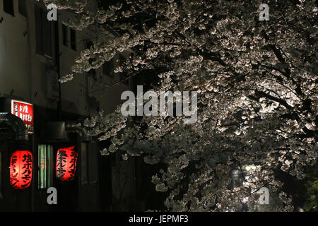 Beautiful cherry tree in full bloom floodlit in a dark night arching over a canal, near two red paper lanterns beside - Stock Photo