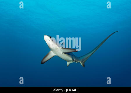 Common thresher (Alopias vulpinus), swimming in open sea, endangered, Brother Islands, El Akhawein, Red Sea, Egypt - Stock Photo