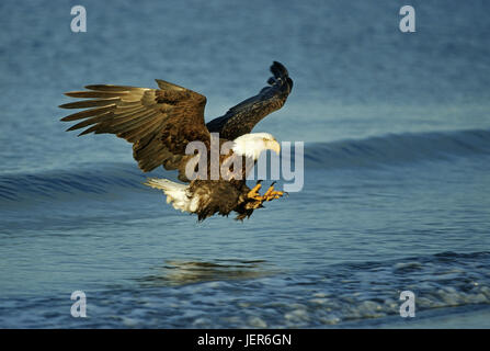 White head lake eagle, Haliaeetus leucoephalus, Weisskopfseeadler - Haliaeetus leucoephalus - Stock Photo