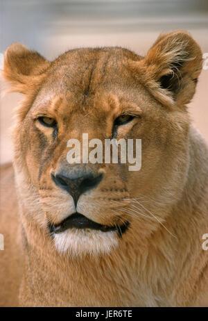 Lion, Panthera leo, Löwe (Panthera leo) - Stock Photo