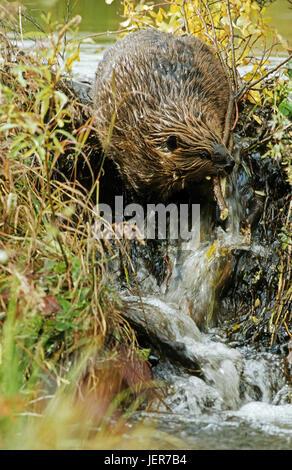 Beavers, Castor Canadensis, Biber (Castor Canadensis) - Stock Photo