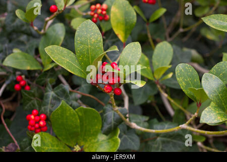 Skimmia japonica shrub with leaves and red berries. Japanese sorbus - Stock Photo