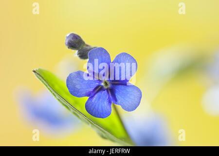 Creeping navelwort or Blue-eyed-Mary - Stock Photo