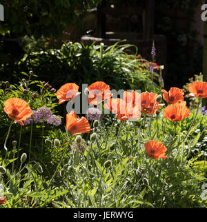 Poppies and Alliums in a southern English country garden - Stock Photo