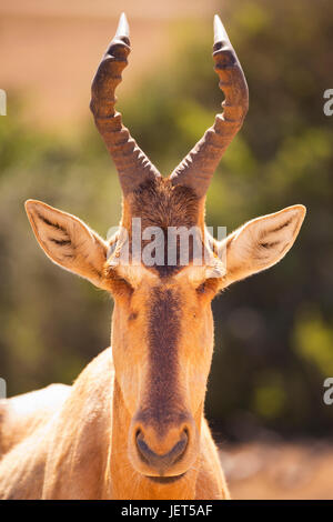 Close up of a hartebeest in Addo Elephant National Park, South Africa. - Stock Photo