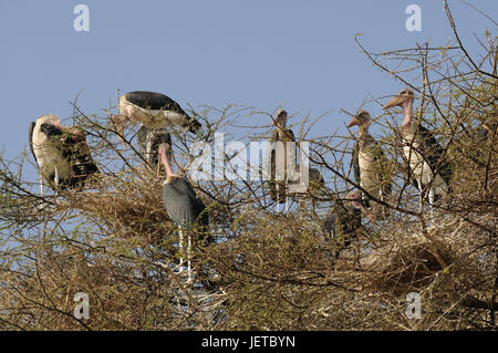 Marabous, tree, Nechisar national park, south Ethiopia, - Stock Photo