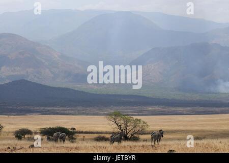 Zebras, steppe scenery, Nechisar national park, south Ethiopia, - Stock Photo