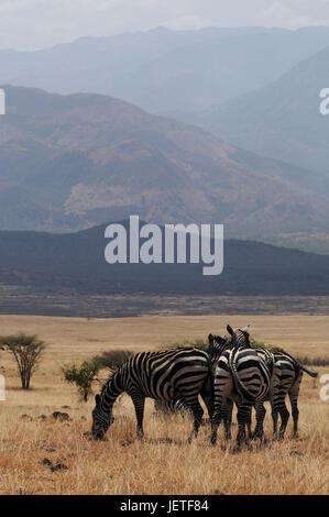 Steppe zebras, Nechisar national park, south Ethiopia, - Stock Photo
