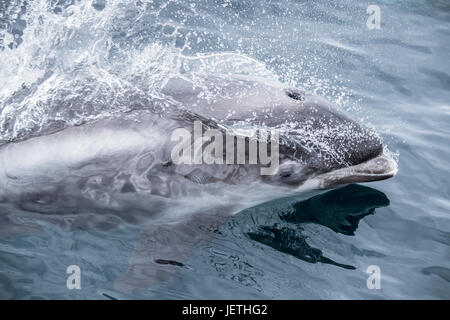White-beaked dolphin, Lagenorhynchus albirostris, surfacing, near the Farne Islands, near Newcastle, North Sea, - Stock Photo