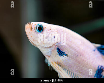 White Betta Splendens male fish with blue eyes - Stock Photo