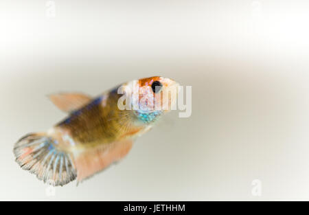 Young orange marble Siamese Fighting female fish - Stock Photo