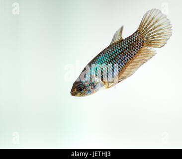 Siamese fighting fish, green female - Stock Photo
