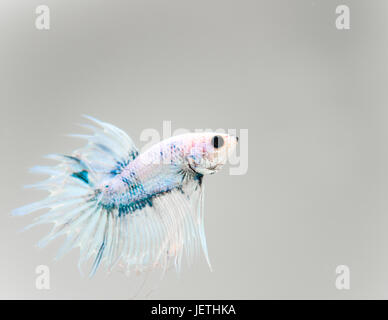 Grizzle platinum crown tail male betta splendens - Stock Photo