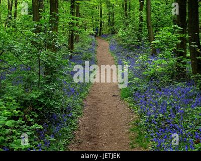 The Atlantic Bluebell Flowers along a forest-way Photo  05/07/2017 lat. Hyacinthoides non-scripta | usage worldwide - Stock Photo