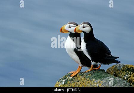 Parrot diver, Fratercula corniculata, Round Iceland, the Bering Sea, Alaska, Papageientaucher (Fratercula corniculata), - Stock Photo