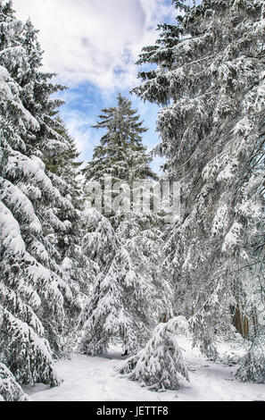 Winter impression color image taken in a forest with heavy snow on the trees on a sunny day with blue sky and clouds - Stock Photo
