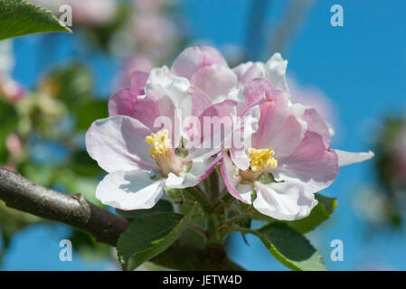 Pink white delicate apple flowers blooming on a fine spring day against a blue sky, Berkshire, May - Stock Photo