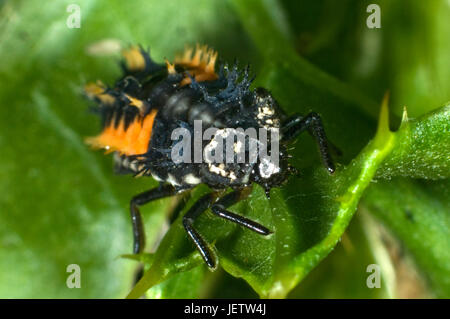 Photomicrograph of a harlequin or Asian ladybird, Harmonia axyridis, larva, predator of aphids and other small arthropods. - Stock Photo